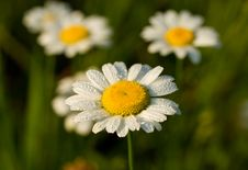 Free Camomile In Early Dew Stock Photo - 17043730