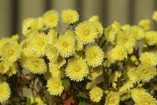 Free Many Flowers Of Yellow Chrysanthemums Stock Photos - 17043783