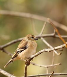 Free American Goldfinch, Carduelis Tristis Royalty Free Stock Image - 17043786