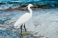 Free White Heron Stock Photography - 17043912