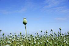 Free Poppy Fields Stock Images - 17044334