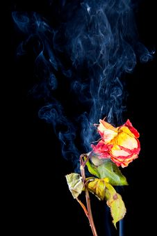 Rose Withered In Smoke From Cigarettes Royalty Free Stock Photos