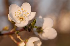 Free Plum Blossom Royalty Free Stock Image - 17045096