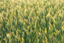 Free Unripe Ears Of Wheat Royalty Free Stock Photography - 17046177