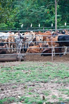 Free Thai Cow Farm Stock Image - 17047621