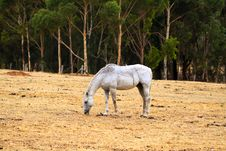 Free Horse Grazing On Dry Grass In Sloped Paddock Stock Image - 17048091