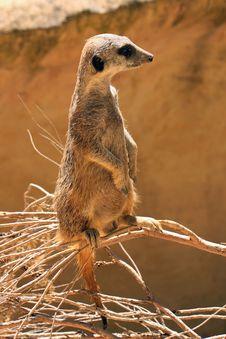 Meerkat (Suricate) Standing Upright As Sentry Stock Images