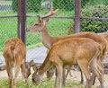 Free Deer Family Stock Photo - 17050590