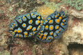 Free Twos Beautiful Yellow Spotted Nudibranch Stock Photo - 17055140