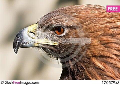 Free Golden Eagle Close Up Royalty Free Stock Photos - 17057948