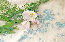 Free Bindweed Royalty Free Stock Image - 17051346