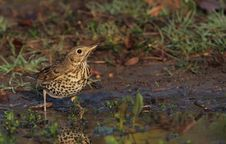 Free Thirsty Song Thrush Stock Photo - 17052120