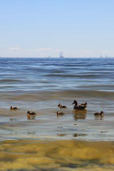 Free Wildlife Duck - Seaweed Royalty Free Stock Photos - 17054028