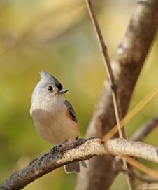 Free Tufted Titmouse, Baeolophus Bicolor Royalty Free Stock Image - 17055236