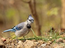 Blue Jay, Cyanocitta Cristata Royalty Free Stock Image