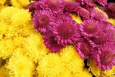 Free Bright Chrysanthemum Flowers  Background Royalty Free Stock Photo - 17055565