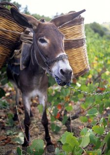 Free Donkey Eating Grapes Royalty Free Stock Photos - 17056928