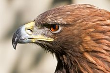 Golden Eagle Close Up Royalty Free Stock Photos