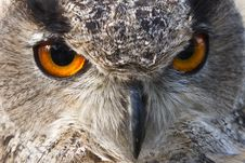 Free Eagle Owl Eyes Stock Photo - 17058070