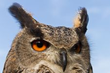 Free Head Off Eagle Owl Stock Images - 17058084