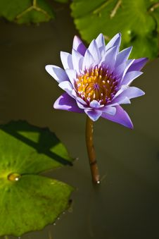 Free Violet Waterlily Stock Images - 17058304