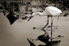 Free White Egret Overlooking Water Stock Image - 17058411
