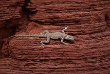 Lizard On Desert Red Rock Stock Photography