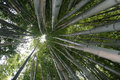 Free Tall Bamboo Forest Royalty Free Stock Images - 17069969