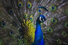 Free Peacock With Open Tail Royalty Free Stock Photography - 17060017