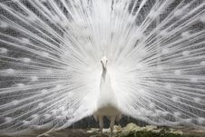Free White Peacock With Open Tail Stock Photo - 17060260