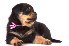 Free Rottweiler  Puppy Royalty Free Stock Image - 17061196