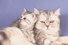 Free British Kitten Stock Images - 17061354