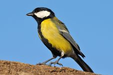 Free Great Tit Royalty Free Stock Image - 17062336