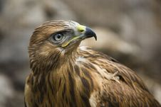 Free Close Up Of Hawk Stock Photography - 17062612