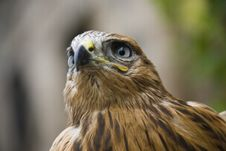 Free Close Up Of Hawk Stock Image - 17062681