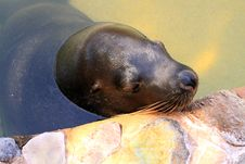 Free Australian Sea Lion - Neophoca Cinerea Stock Image - 17064071
