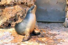 Australian Sea Lion - Neophoca Cinerea Stock Images