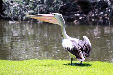 Australian Pelican - Pelecanus Conspicillatus Stock Images