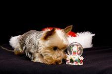 Christmas Yorkshire Dog Stock Photography