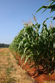 Corn Farm Royalty Free Stock Image