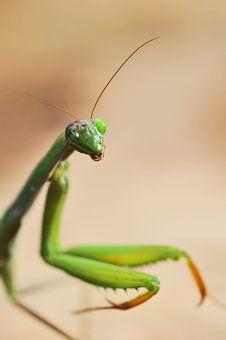 Free Praying Mantis Stock Images - 17067974