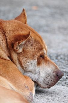 Sleeping Dog Royalty Free Stock Photos