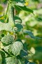 Free Green Cucumber Stock Photos - 17070893