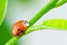 Free Ladybug Stock Photos - 17071663