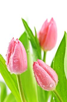 Free Tulips Royalty Free Stock Photo - 17071935