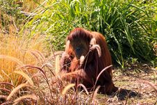 Sumatran Orangutan Camouflaged By Grasses Stock Images