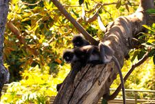 Free Two Dusky-Leaf Monkeys In Tree Royalty Free Stock Image - 17072936