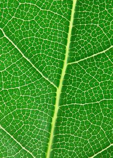 Free Laurel Leaf Stock Photo - 17075960