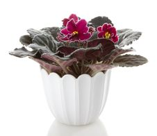 Free Pot Flowers Saintpaulia Flower Royalty Free Stock Photo - 17075985