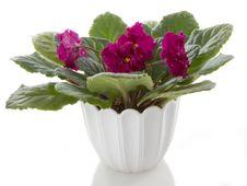 Free Pot Flowers Saintpaulia Flower Royalty Free Stock Images - 17076039